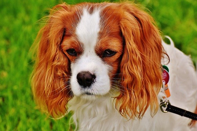 Dog Grooming Basics: How to Groom a Cocker Spaniel